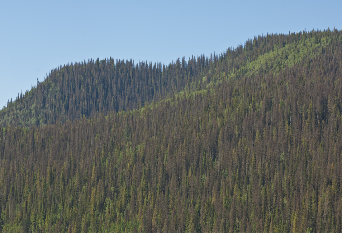 spruce-beetle-west-of-creede-2