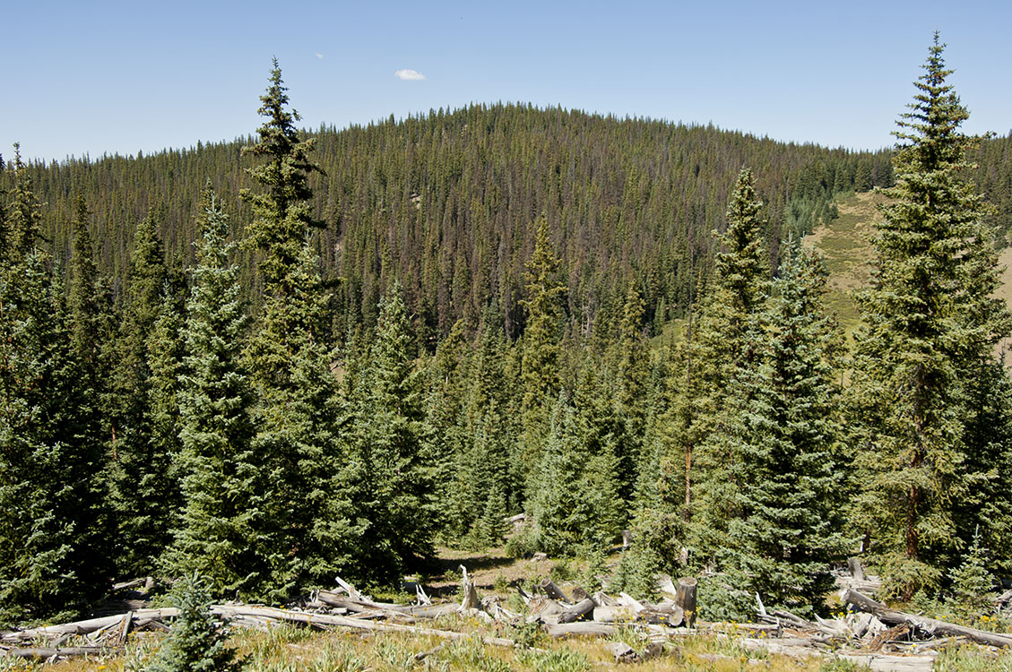 spruce-beetle-west-of-creede-3