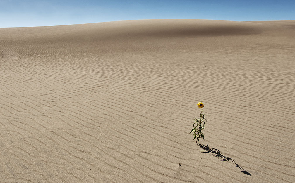 A lone sunflower ekes out a scant living at the Great Sand Dunes National monument in southern Colorado.