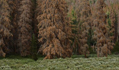 Pine Beetle RMNP DSC_0041