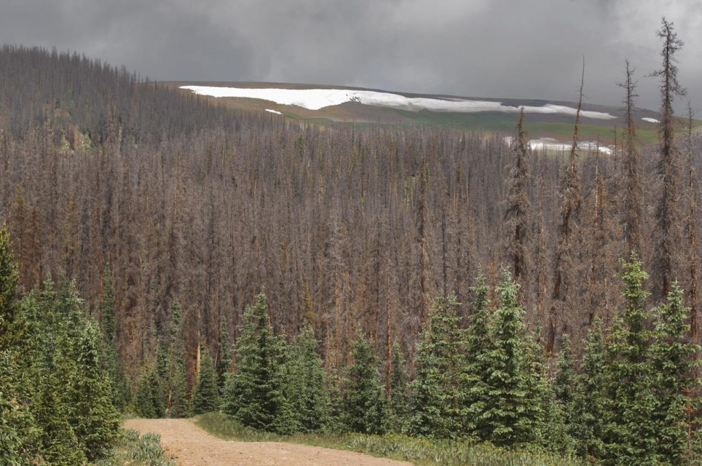A 100,000-acre spruce beetle kill drapes this alpine mountain park like a heavy wool blanket. Except for a green strip of young trees along the old logging roads that crisscross forested areas like these, 90 percent or more of the rest of the forest has been killed. Groundhog Park, La Garita Range, Rio Grande National Forest, south central Colorado, elevation 11,000 feet. Background: Mesa Mountain, elevation 12,994 feet. (Photo: Bruce Melton)