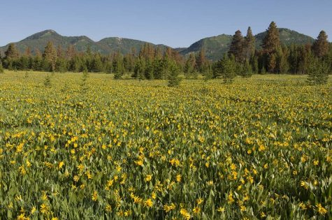 A healthy climate is not always as it seems. Redkill Lodgepole Pine stand behind a field of Douglas' Sunflower at Steamboat Lake State Park, Colorado. Less than 0.7 degree Celsius of average warming across the globe was responsible for allowing the native mountain pine beetle to kill 20 percent of western US forests between the late 1990s and 2010. The attack continues today with the addition of spruce and fir beetles to the infestation. (Photo: Bruce Melton)
